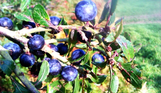 Sussex sloes