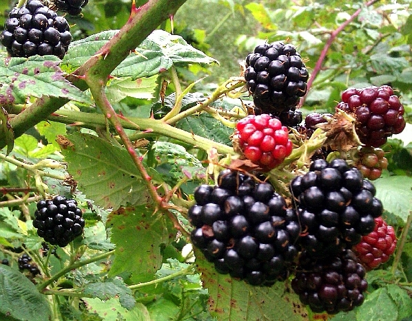 Blackberry on bush