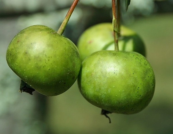 crab-apples-51558_640-green