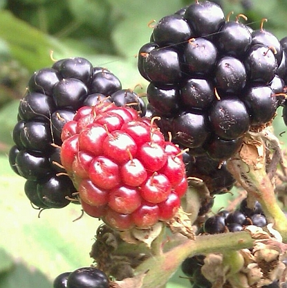 Blackberries-zoom
