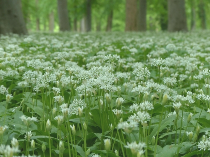 bears-garlic-wood